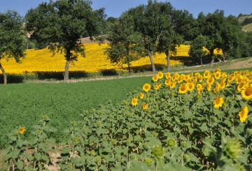 In the Ancona province, a beautiful farmhouse surrounded by centuries-old olive trees and sunflowers stands