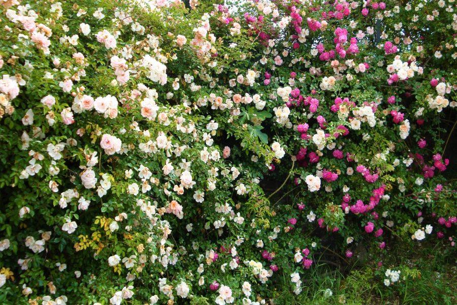 """Le rose, i loro colori e i loro profumi: la magica cornice di casale """"Le Rose Di Faustino"""""""